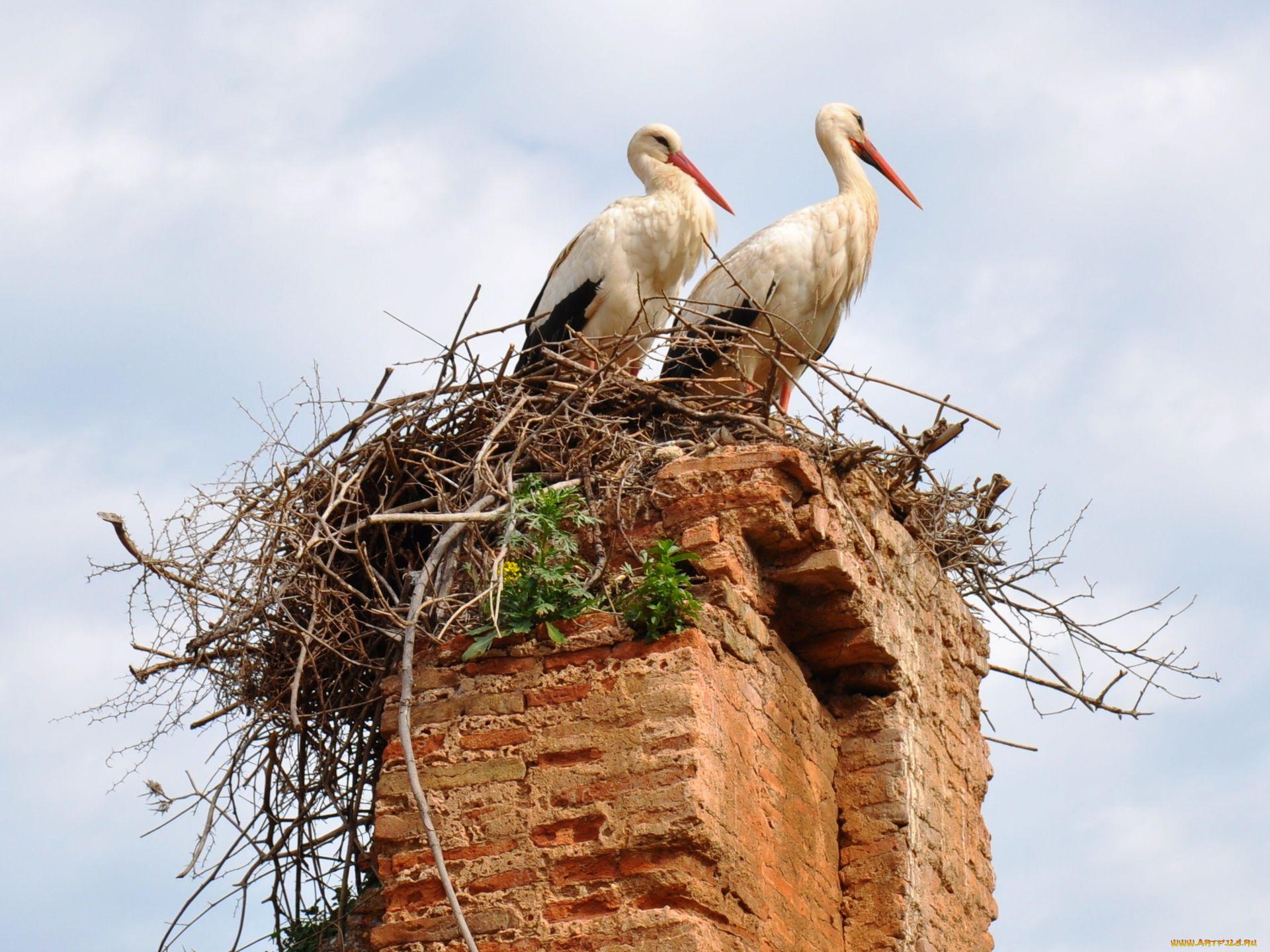 Аисты в гнезде на крыше картинки